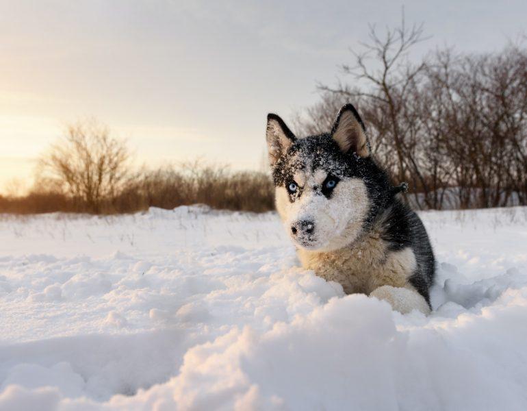 Siberian husky dog playing on winter field